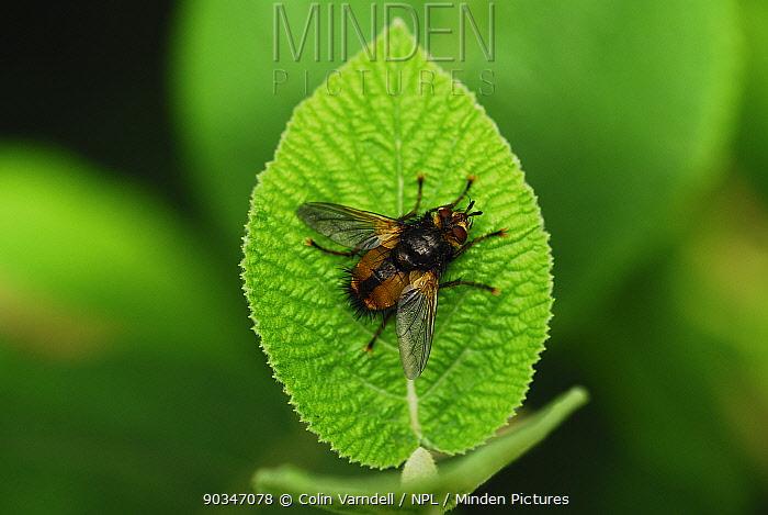 Adult Common Rufous Parasitic Fly (Tachina fera) at rest on wayfaring tree leaf Dorset, UK, August  -  Colin Varndell/ npl