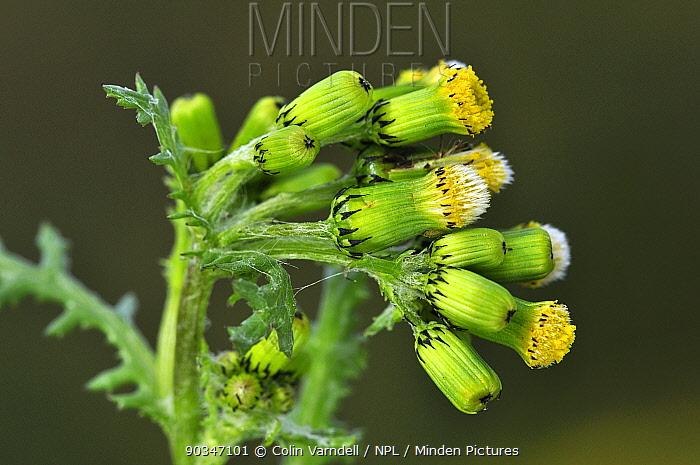 Groundsel (Senecia vulgaris) coming into bloom Dorset, UK, April  -  Colin Varndell/ npl