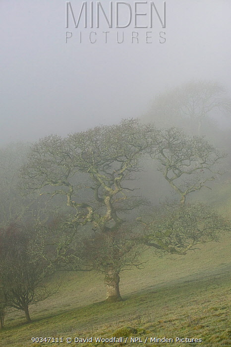Sessile Oak (Quercus patraea) in mist Gilfach Farm SSSI, Radnorshire Wildlife Trust, Wales, UK, November  -  David Woodfall/ npl