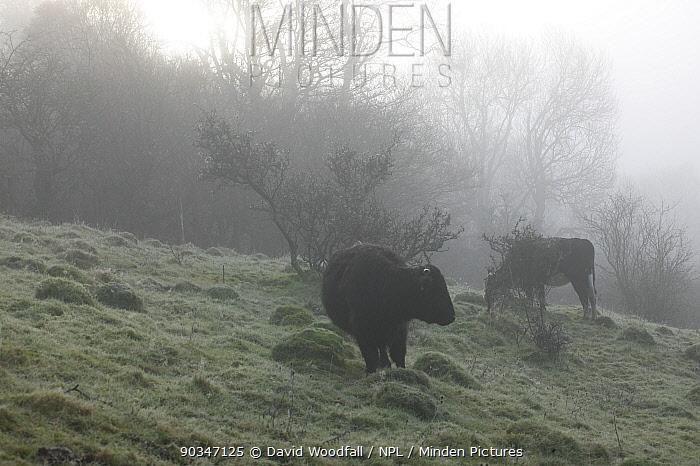 Welsh Black (Bos taurus) calf grazing old meadow with ant hills in mist Gilfach Farm SSSI, Radnorshire Wildlife Trust, Wales, UK, November  -  David Woodfall/ npl