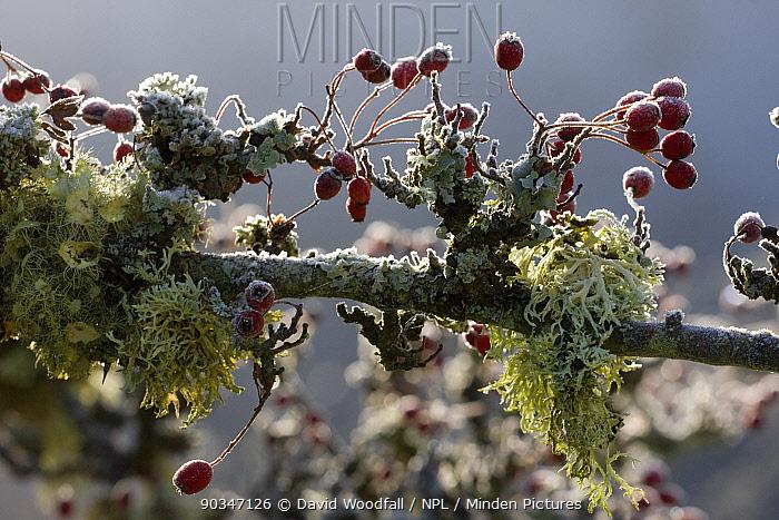 Branch of old Hawthorn (Crataegus monogyna) with lichen and frost Gilfach Farm SSSI, Radnorshire Wildlife Trust, November  -  David Woodfall/ npl
