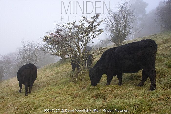Welsh Black cattle (Bos taurus) in misty field Gilfach Farm SSSI, Radnorshire Wildlife Trust nature reserve, Wales, November  -  David Woodfall/ npl