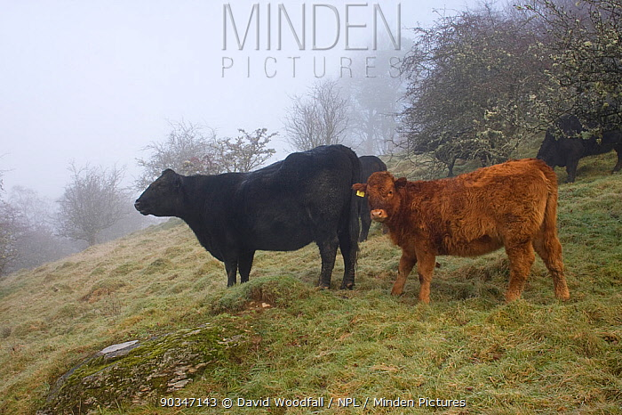 Welsh Black (Bos taurus) cow and calf Gilfach Farm SSSI, Radnorshire Wildlife Trust nature reserve, Wales, November  -  David Woodfall/ npl