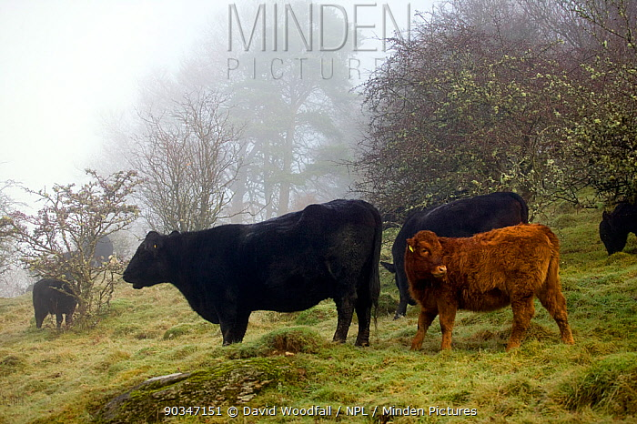 Welsh Black (Bos taurus) cow with cross breed calf grazing old meadow with ant hills in mist Gilfach Farm SSSI, Radnorshire Wildlife Trust, Wales, UK, November  -  David Woodfall/ npl