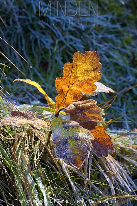 Sessile Oak (Quercuspetraea) seedling, Gilfach Farm SSSI, Radnorshire Wildlife Trust, Wales, November  -  David Woodfall/ npl