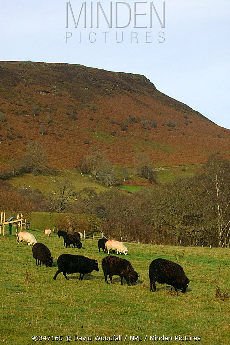 Mixed Welsh Mountain and Jacob sheep (Ovis aries) in meadow Gilfach Farm SSSI, Radnorshire Wildlife Trust, Wales, UK, November  -  David Woodfall/ npl