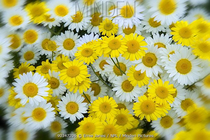 Daises (Anthermis sp) in flower, Norfolk, UK, July  -  Ernie Janes/ npl