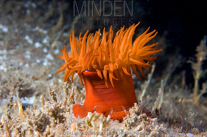 Beadlet Anemone (Actinia equina) Channel Islands, UK, July  -  Sue Daly/ npl