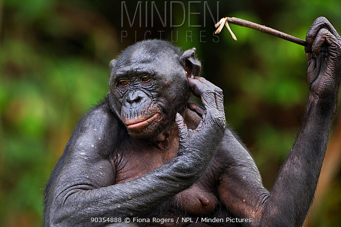 Bonobo (Pan paniscus) female scratching her head with a stick, Lola Ya Bonobo Sanctuary, Democratic Republic of Congo October  -  Fiona Rogers/ npl