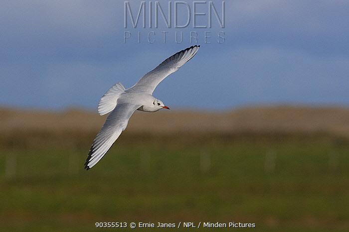 Black-headed gull (Larus ridibundus) in flight, winter plumage, Norfolk, UK  -  Ernie Janes/ npl