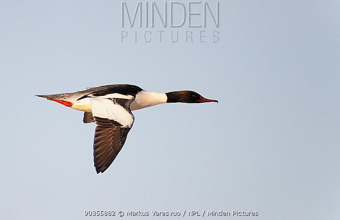 Goosander (Mergus merganser) male in flight Uto, Finland, March  -  Markus Varesvuo/ npl