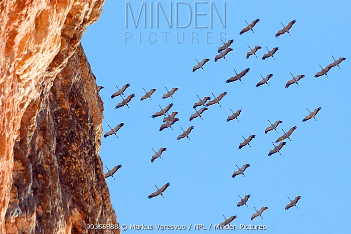 Flock of Crane (Grus grus) flying overhead with a cliff in the foreground Spain, March  -  Markus Varesvuo/ npl