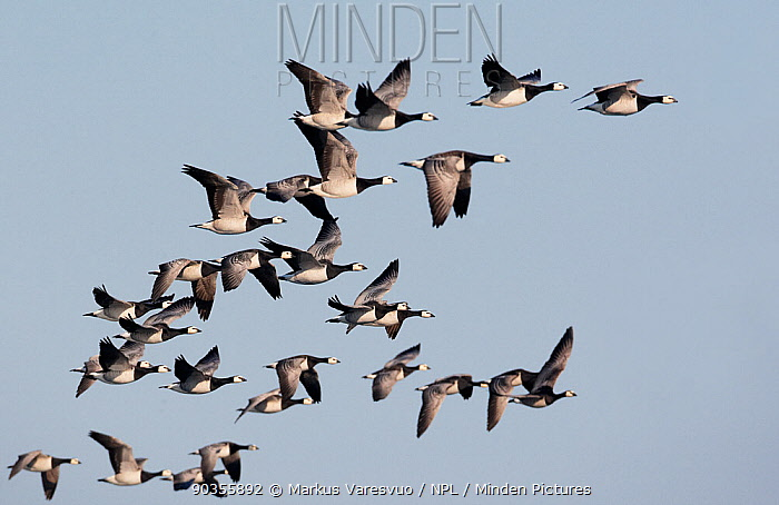 Flock of Barnacle Geese (Branta leucopsis) in flight Porvoo, Finland, May  -  Markus Varesvuo/ npl