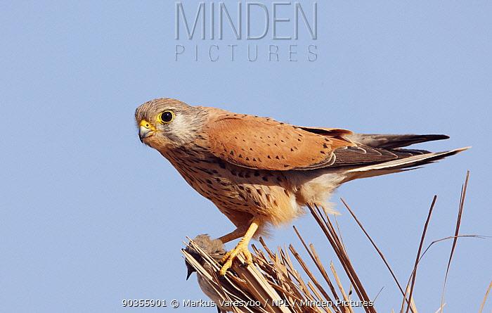 Kestrel (Falco tinnunculus) perched Israel, March  -  Markus Varesvuo/ npl