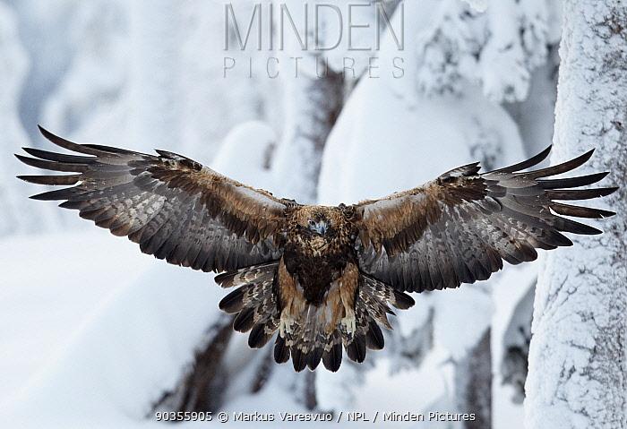 Golden Eagle (Aquila chrysaetos) in flight against snow Kuusamo, Finland, February  -  Markus Varesvuo/ npl