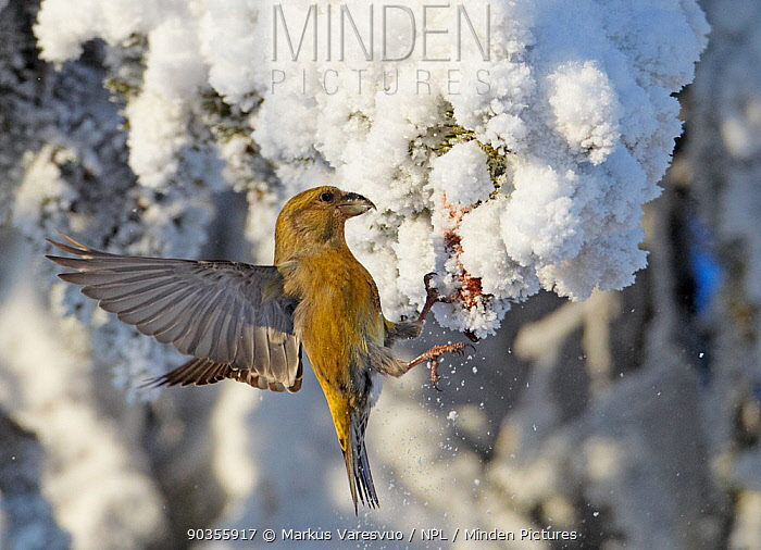 Common Crossbill (Loxia curvirostra) female batting the snow off a spruce cone that it wants to feed on Kuusamo, Finland, February  -  Markus Varesvuo/ npl