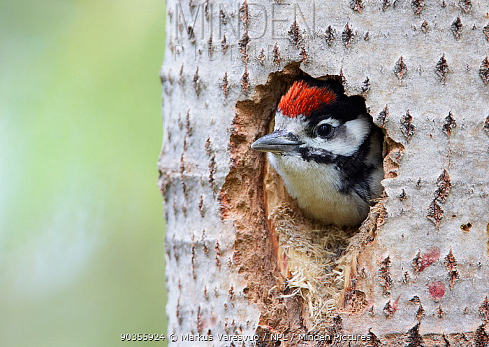 Great Spotted Woodpecker (Dendrocopos major) peering out from its hole in a tree Vaala, Finland, June  -  Markus Varesvuo/ npl