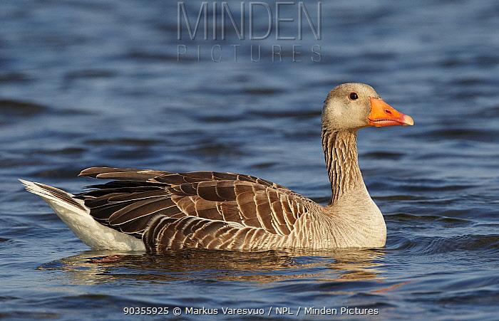 Portrait of a Greylag Goose (Anser anser) on water Finland, July  -  Markus Varesvuo/ npl