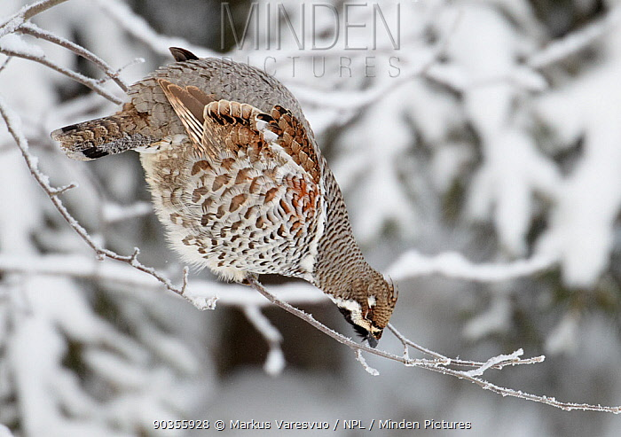 Hazel Grouse (Bonasa bonasia) perched on a thin twig, possibly looking for buds to eat Kuusamo, Finland, February  -  Markus Varesvuo/ npl