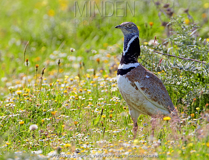 Little Bustard (Tetrax tetrax) in meadow flowers Spain, April  -  Markus Varesvuo/ npl