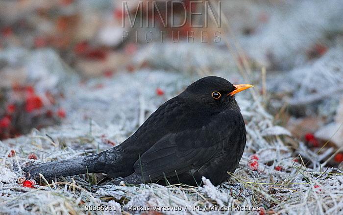 Male Blackbird (Turdus merula) on frosty grass Helsinki, Finland, January  -  Markus Varesvuo/ npl