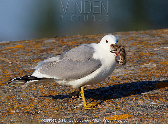 Common Gull (Larus canus) with its prey of a Redshank chick (Tringa totanus) Uto, Finland, July  -  Markus Varesvuo/ npl