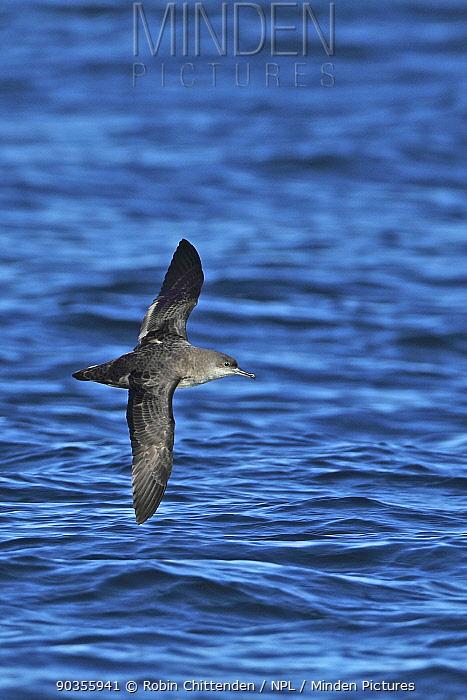 Balearic Shearwater (Puffinus mauretanicus) in flight above sea Algarve, Portugal, October  -  Robin Chittenden/ npl