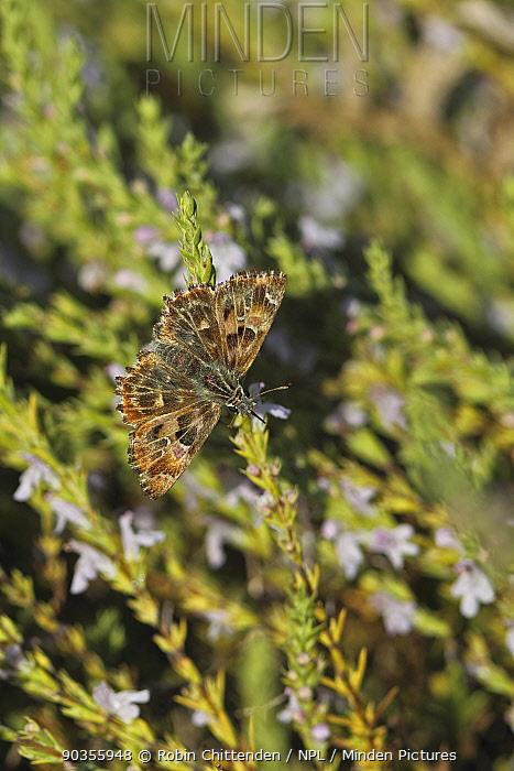 Mallow Skipper (Carcharodus alceae) Bulgaria, September  -  Robin Chittenden/ npl
