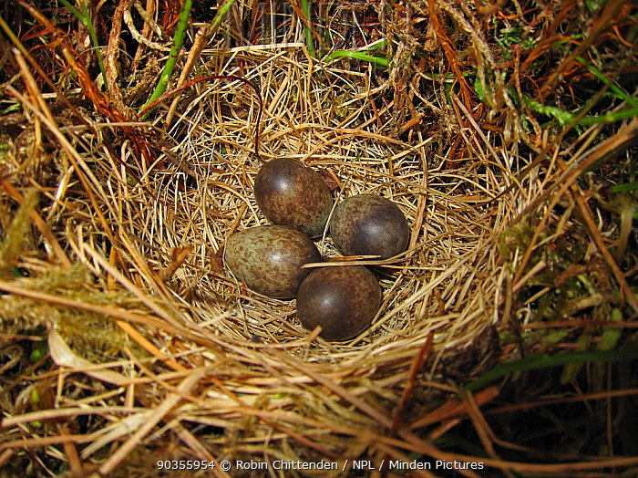 Eggs of a Meadow Pipit (Anthus pratensis) in the nest Kelburn, North Aryshire, Scotland, June  -  Robin Chittenden/ npl