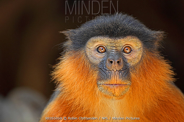 Portrait of a Western Red Colobus Monkey (Colobus badius) Gambia, West Africa, January  -  Robin Chittenden/ npl