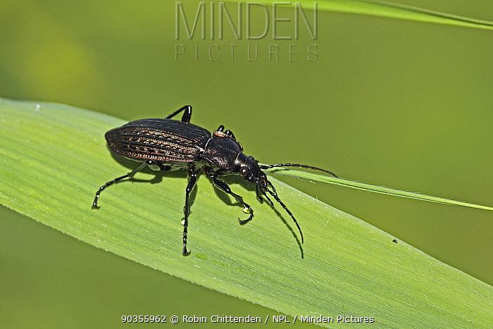 Ground Beetle (Carabus granulatus) on a leaf Strumpshaw Fen, Norfolk, UK  -  Robin Chittenden/ npl