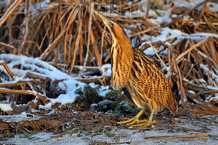 Bittern (Botaurus stellaris) standing by ice and frost Norfolk, UK, December  -  Robin Chittenden/ npl