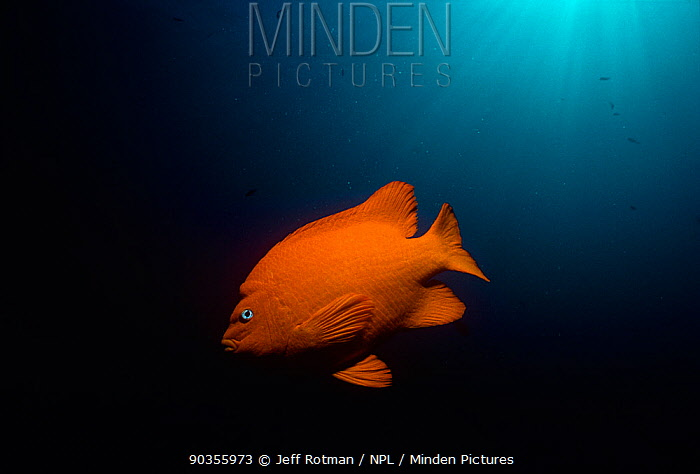 Garibaldi (Hypsypops rubicundus), the State Fish of California Pacific Ocean, Southern California, USA  -  Jeff Rotman/ npl