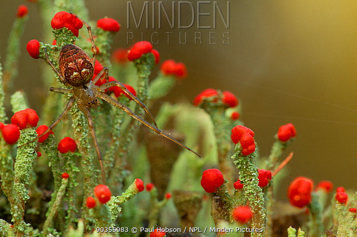 Orb spider (Meta, Metellina segmentata) on fruiting lichens, Blackamoor NR, Sheffield, UK Highly commended, Living Landscape: Connectivity category, British Wildlife Photography Awards (BWPA) competition 2011  -  Paul Hobson/ npl