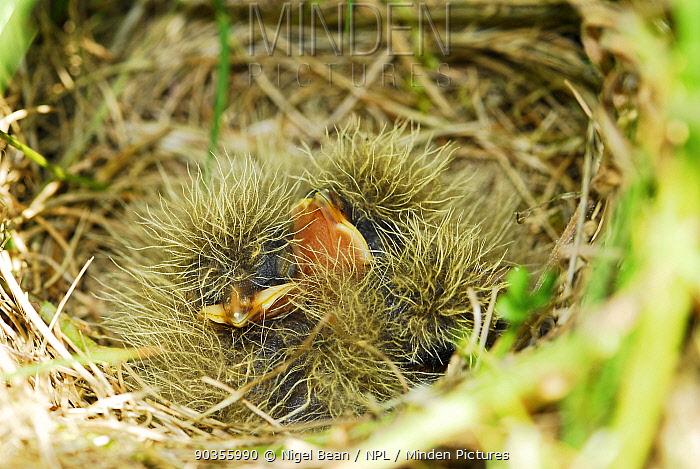 Skylark (Alauda arvensis) chicks in nest, Norfolk, UK, June  -  Nigel Bean/ npl