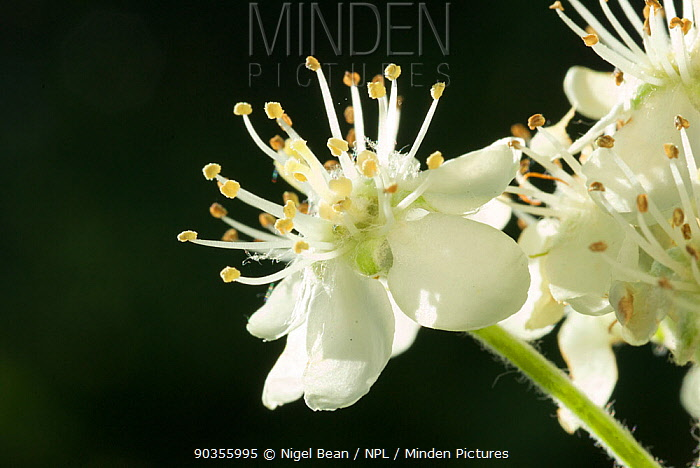 Close up of flowers of Common whitebeam (Sorbus aria) Somerset, UK, May  -  Nigel Bean/ npl