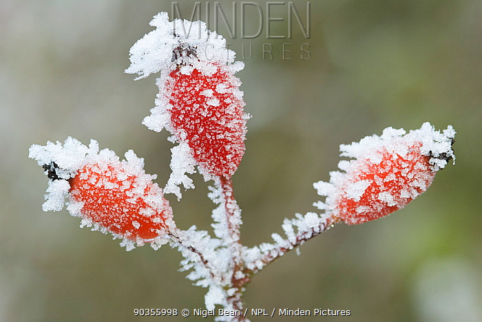 Dog rose (Rosa canina) hips covered with hoar frost, Somerset Levels, UK, December  -  Nigel Bean/ npl
