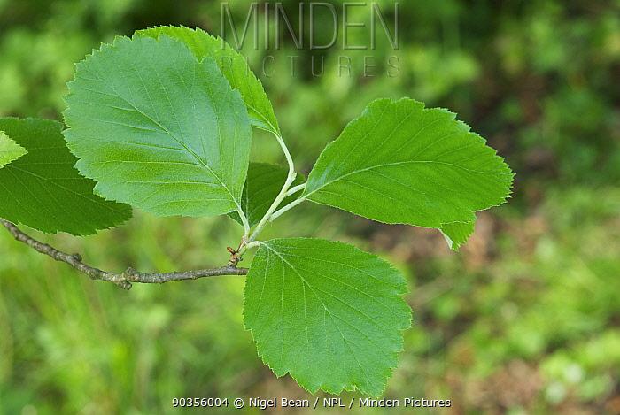 Leaves of a Bristol Whitebeam (Sorbus bristoliensis) Avon Gorge, Bristol, UK, May  -  Nigel Bean/ npl