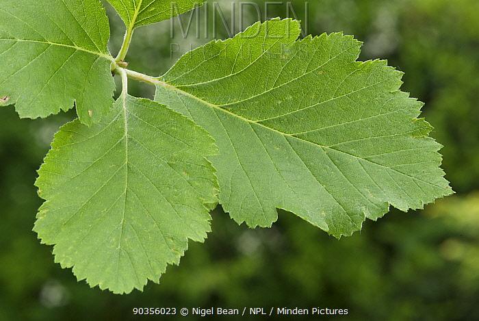 Leaves of English whitebeam (Sorbus anglica) Avon Gorge, Bristol, UK, May  -  Nigel Bean/ npl