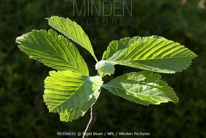 Wilmott's Whitebeam (Sorbus wilmottiana) leaves, Avon Gorge, Bristol, UK, May  -  Nigel Bean/ npl