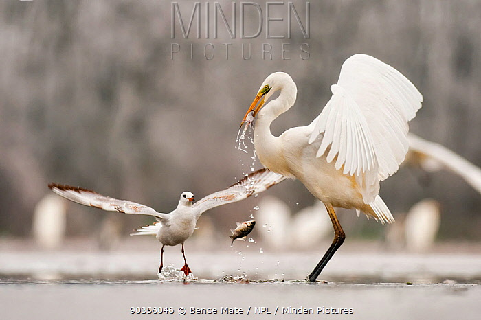 Great egret (Egretta alba) drops a fish from its beak and a Black headed gull (Larus ridibundus) flies in to catch it Lake Csaj, Kiskunsagi NP, Hungary, January Eric Hoskings award at 2011 Wildlife Photographer of the Year competition  -  Bence Mate/ npl