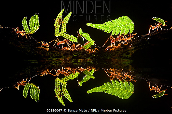 Leaf cutter ants (Atta sp) female worker ants carry pieces of fern leaves to nest, reflected in water, Costa Rica, December Eric Hoskings award at 2011 Wildlife Photographer of the Year competition  -  Bence Mate/ npl
