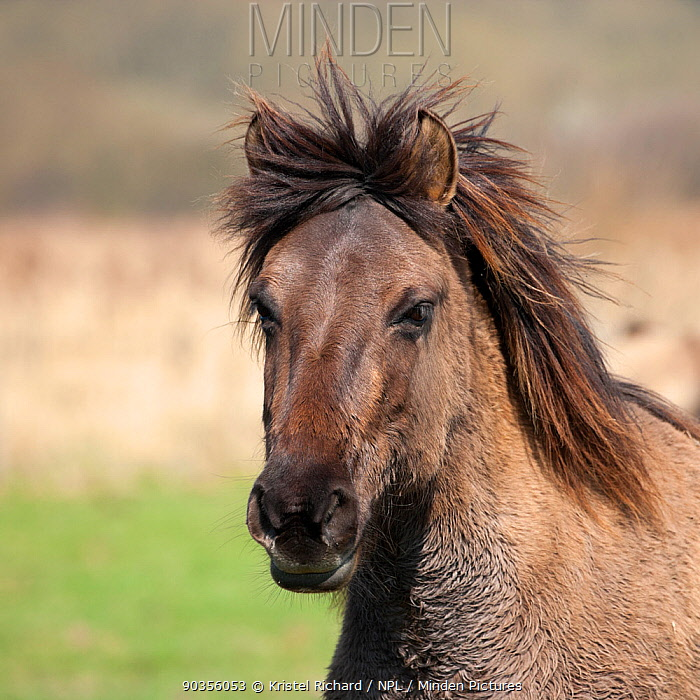 Konik horses (Equus caballus), wild Konik mare (in winter coat), Stodmarsh nature reserve, Kent, UK, March  -  Kristel Richard/ npl