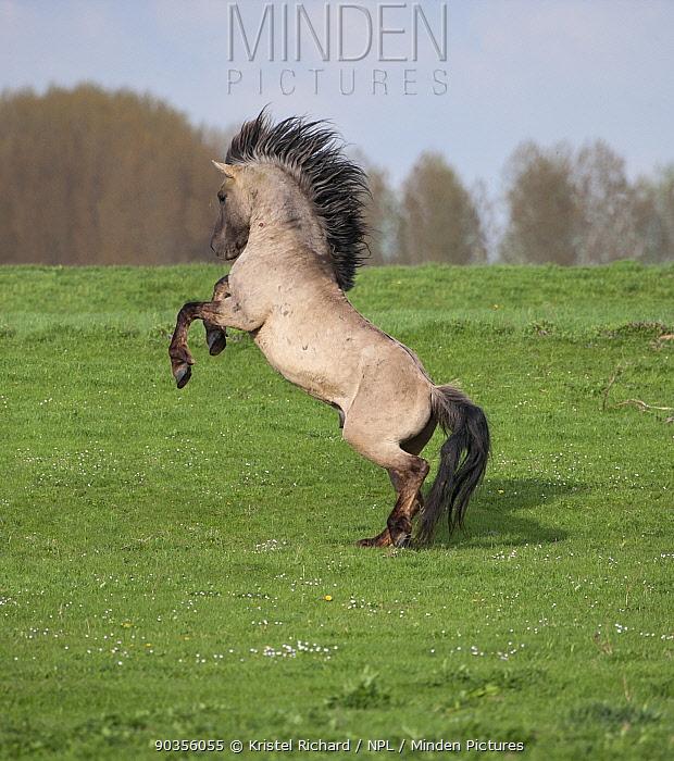 Konik horses (Equus caballus), wild Konik breeding stallion rearing to fight, Millingerwaard nature reserve, Netherlands, April  -  Kristel Richard/ npl
