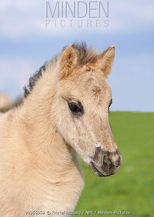 Konik horses (Equus caballus), wild Konik young colt, Millingerwaard nature reserve, Netherlands, April  -  Kristel Richard/ npl