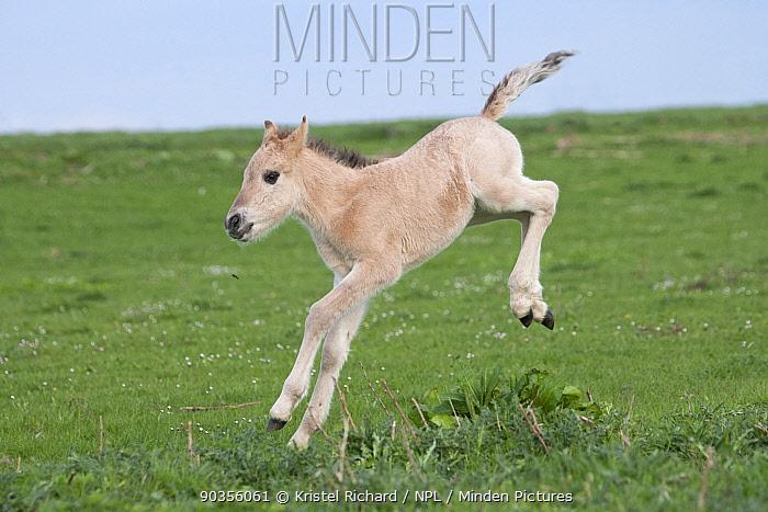 Konik horses (Equus caballus), wild Konik newborn colt running around, testing his legs, Millingerwaard nature reserve, Netherlands, April  -  Kristel Richard/ npl