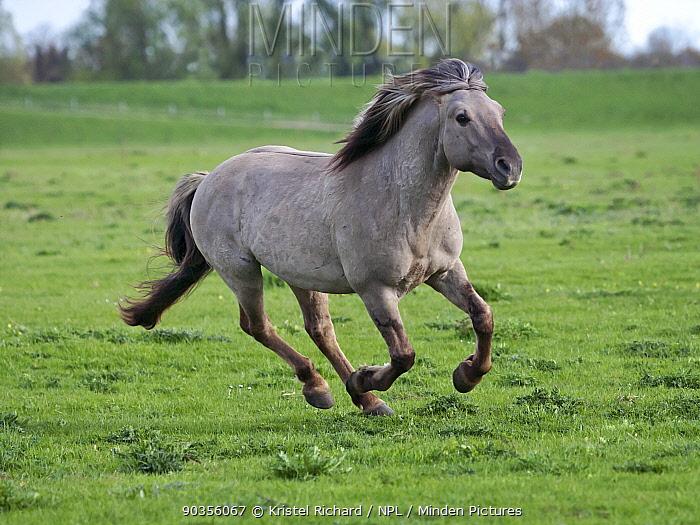 Konik horses (Equus caballus), wild Konik breeding stallion charging, Millingerwaard nature reserve, Netherlands, April  -  Kristel Richard/ npl