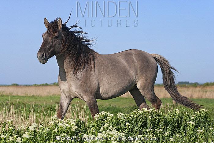 Konik horses (Equus caballus), wild Konik breeding stallion, Stodmarsh nature reserve, Kent, UK, April  -  Kristel Richard/ npl
