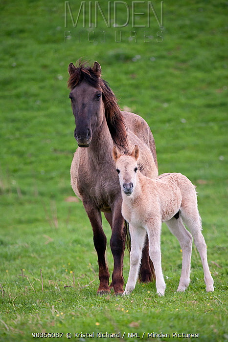 Konik horses (Equus caballus), wild Konik mare and her young colt standing alert, Millingerwaard nature reserve, Netherlands, April  -  Kristel Richard/ npl