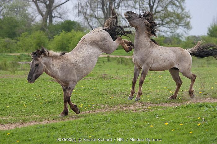 Konik horses (Equus caballus), Two wild Konik breeding stallions fighting, Millingerwaard nature reserve, Netherlands, April  -  Kristel Richard/ npl
